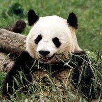 Pandaman_92