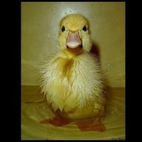 duckman9
