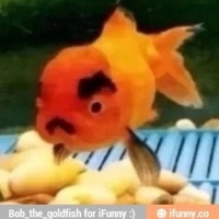 bob_tho_goldfish