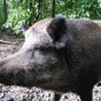 VocalizedBoar