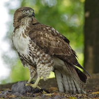 Hawk42