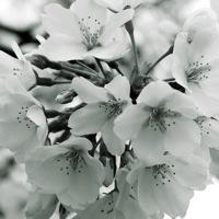 silverrose13