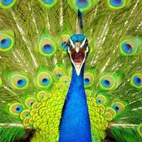 Peacock_Man
