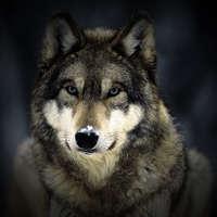 sam_wolves