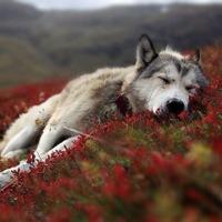 steeledwolf