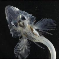 icefishbaby