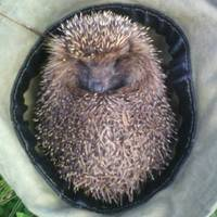 hedgehog_in_fog