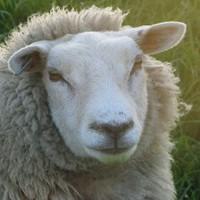 albinoturk