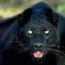 <b>Panther</b> - the 06/09/2009 at 12:01pm