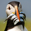 <b>puffin</b> - the 02/06/2011 at 2:39pm