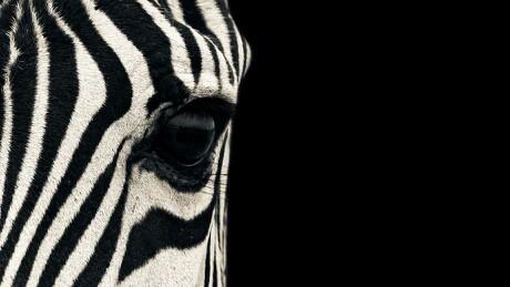 forever_a_zebra