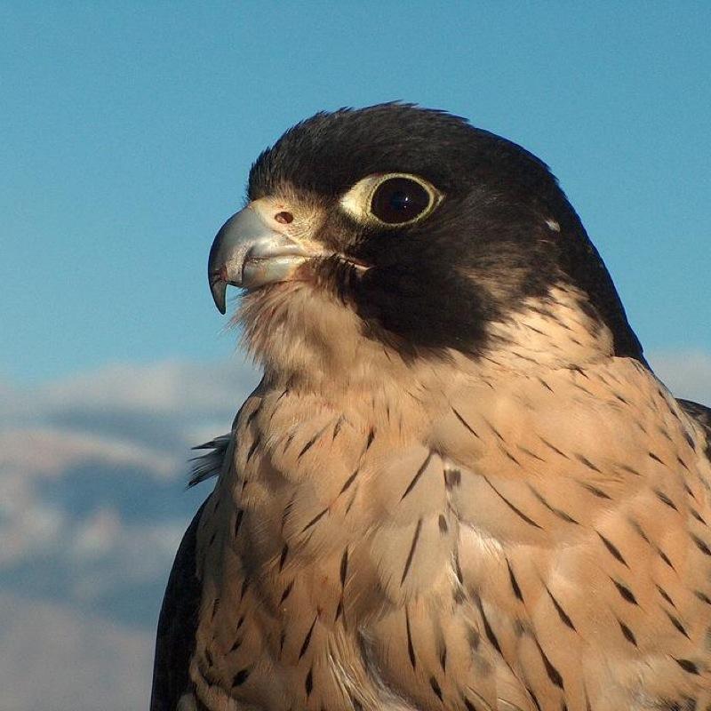 FalconSam1414