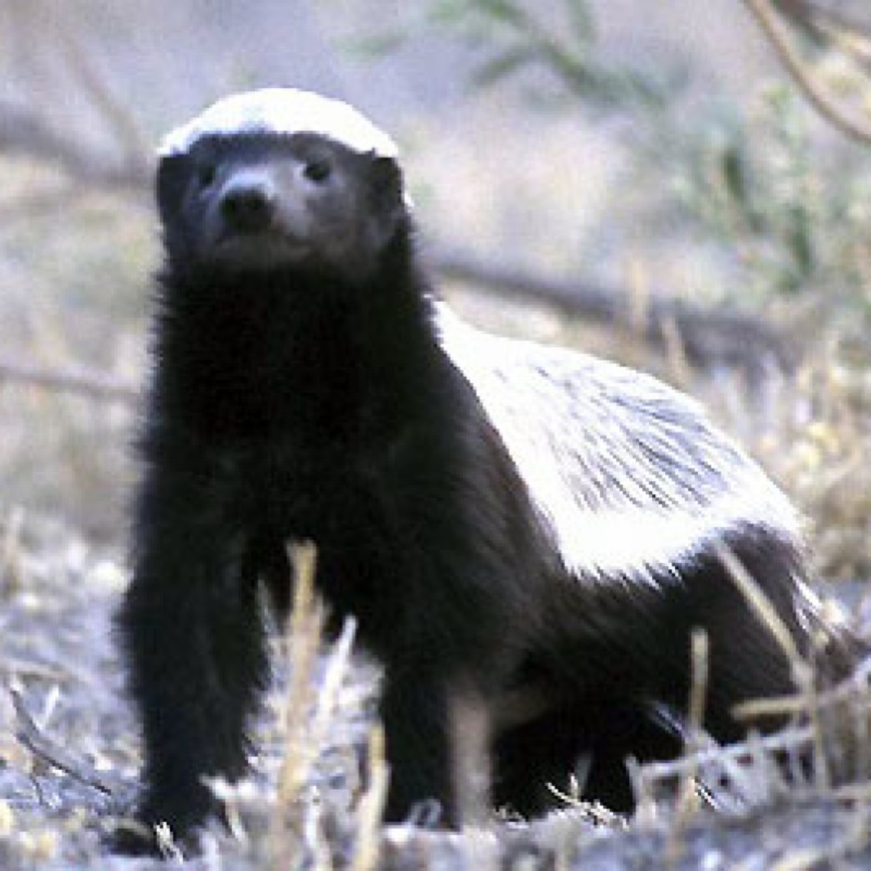 The_Honey_Badger