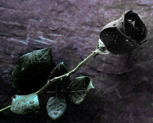 Black_Rose97